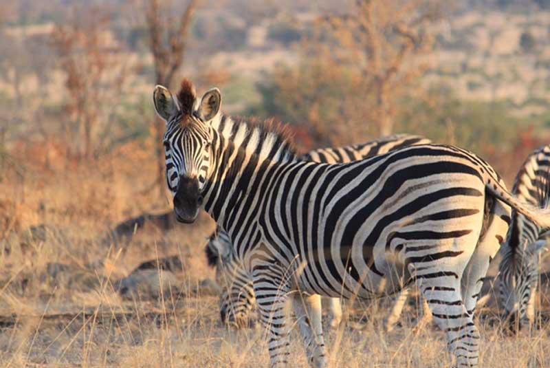 Zebra in Sabi Sand