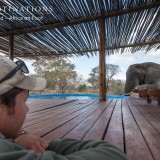 Elephants Drinking from Swimming Pool at Lodges in Klaserie