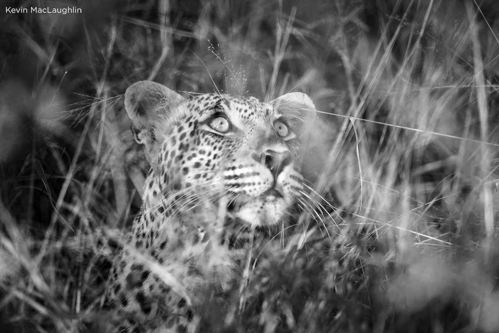 , Leopard vs Leopard vs Hyenas in Sabi Sand