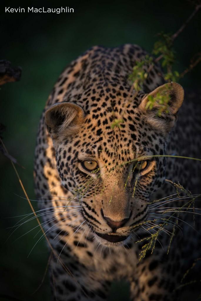 Golden-eyed leopard