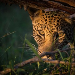 SafariLive : A Virtual Safari in Masai Mara and Kruger