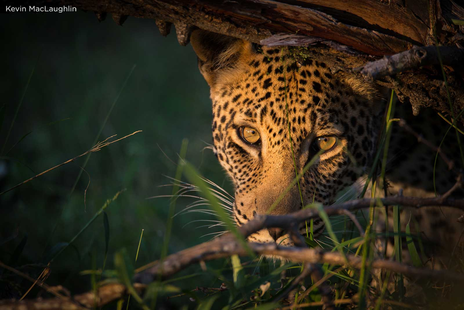 Golden-eyed leopard
