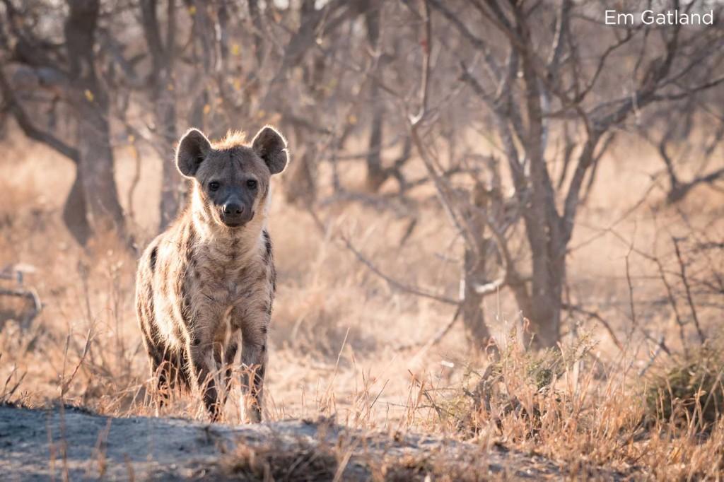 Hyena in the winter bush