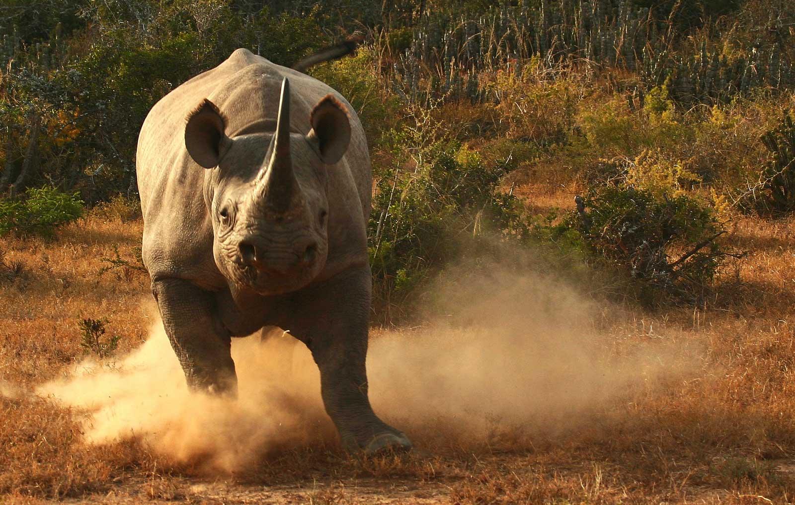 Black rhino Kwandwe