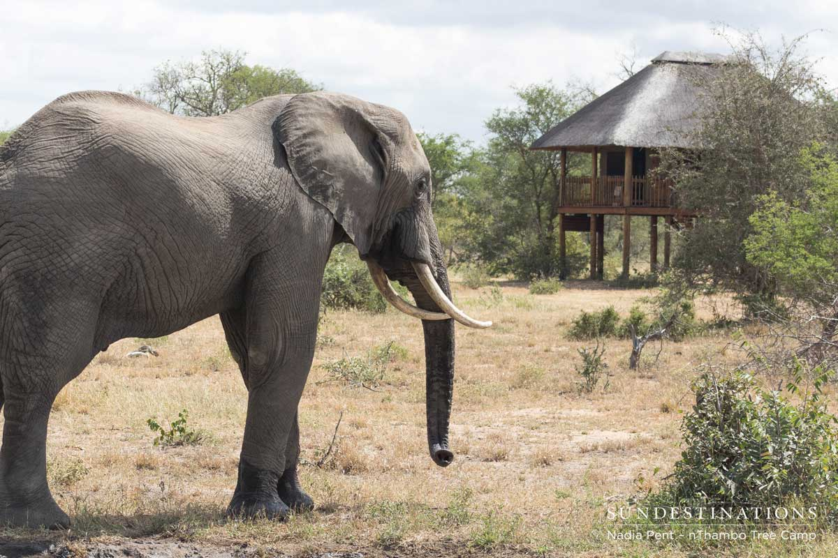 nThambo Elephant in Camp