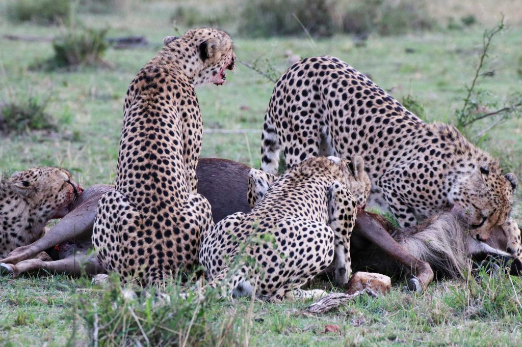 Five cheetah brothers kill a wildebeest in the Masai Mara © Nik Simpson