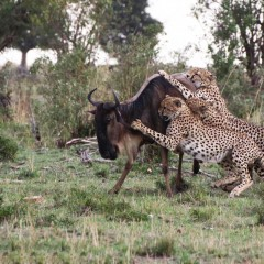 Five Cheetah Brothers Kill a Wildebeest in Masai Mara