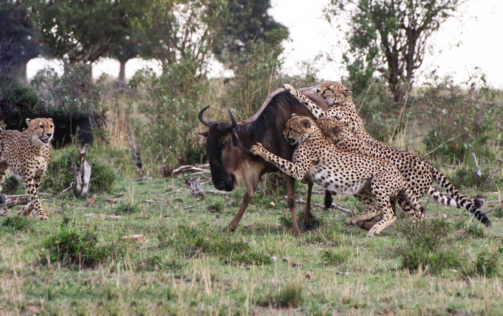 Five Cheetah Brothers Kill a Wildebeest in Masai Mara