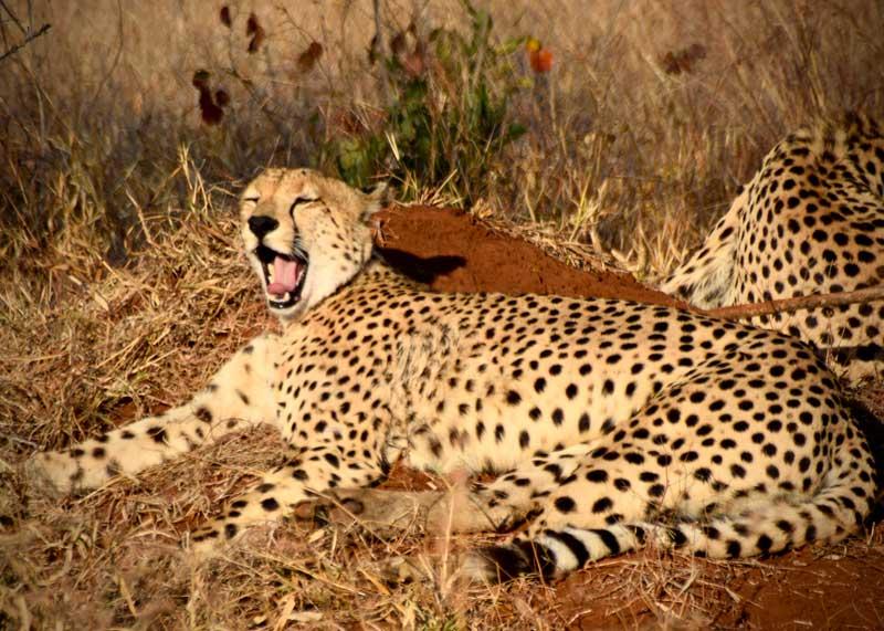 Honeyguide Mantobeni Cheetah -  Image by Aoife McCarthy