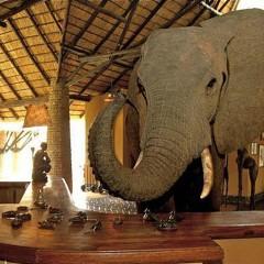 Mfuwe Lodge: Elephants Walk Through Reception During October