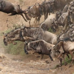 Wildebeest Crossing in the Masai Mara