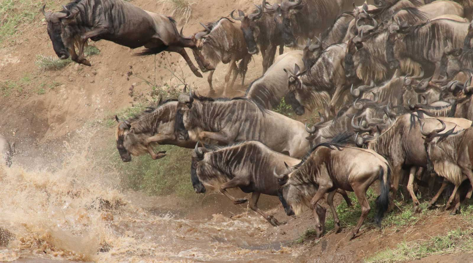 Wildebeest Crossing in the Masai Mara