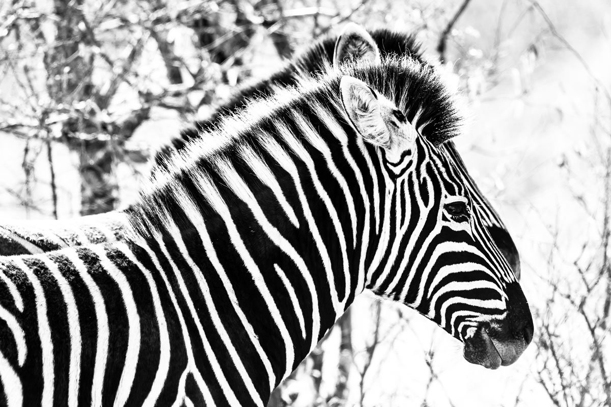 Zebra boasting black and white stripes : Image by Em Gatland