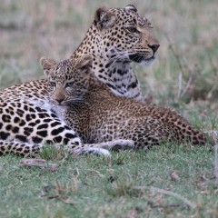 Stories from the Masai Mara: Fig the Leopard and her Cub