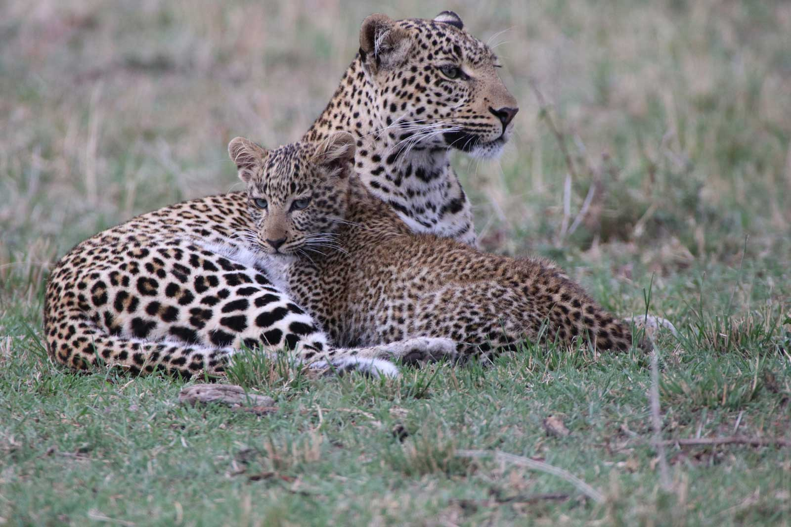 , Stories from the Masai Mara: Fig the Leopard and her Cub
