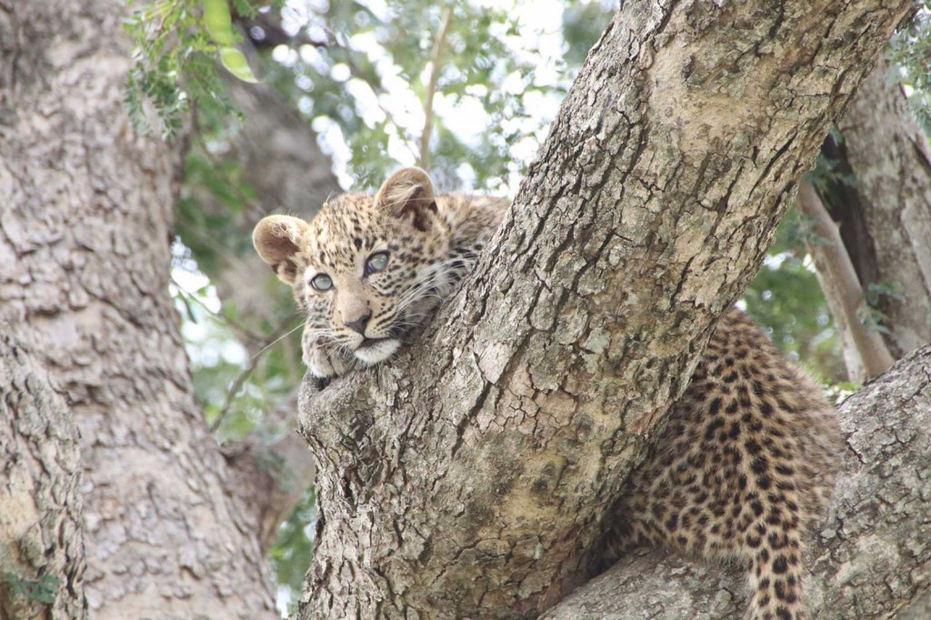 FIg the Leopard and her Cub © Nik Simpson