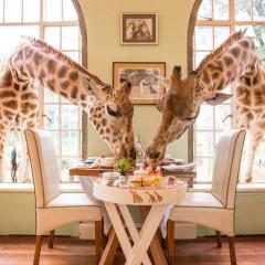 Giraffe Manor in Kenya : Eat Breakfast with Giraffe Herds