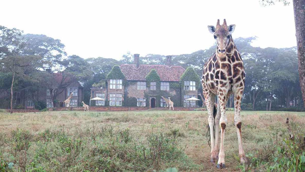 Giraffe Manor Lone Giraffe