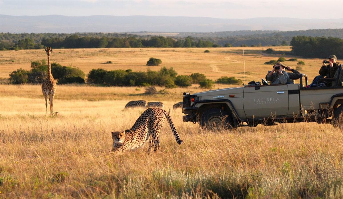Lalibella Game Drive Cheetah