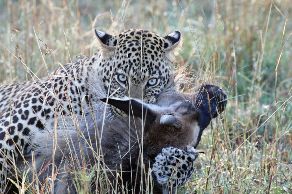 Leopard makes a quick meal of the wildebeest © Nik Simpson