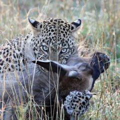 Stories from the Masai Mara: Leopard Kill in Action