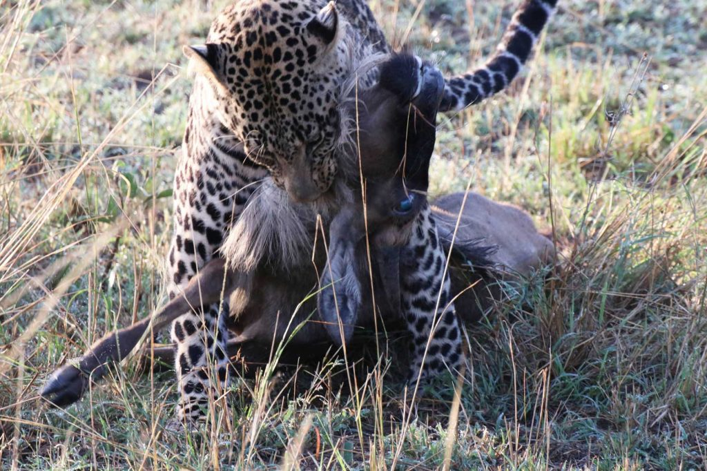 Leopard makes the kill in less than a minute © Nik Simpson