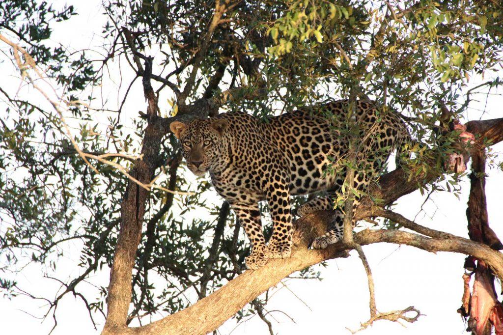 Leopard spots his prey © Nik Simpson