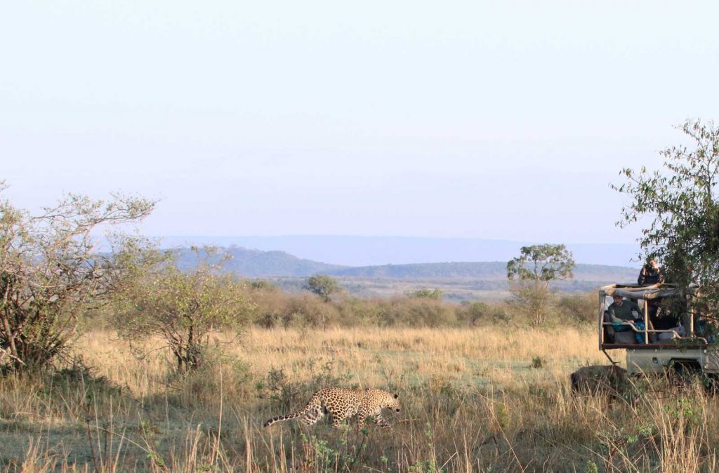Leopard stalking wildebeest © Nik Wildebeest