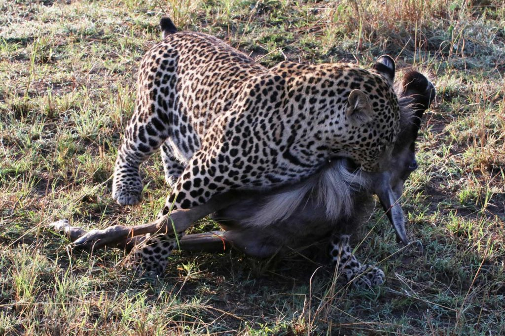 Leopard starts to drag his kill away from the scene © Nik Simpson