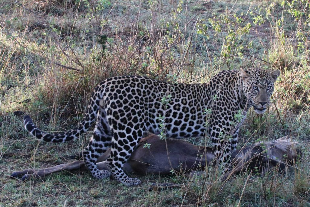 Leopard takes a rest from dragging his freshly killed wildebeest © Nik Simpson