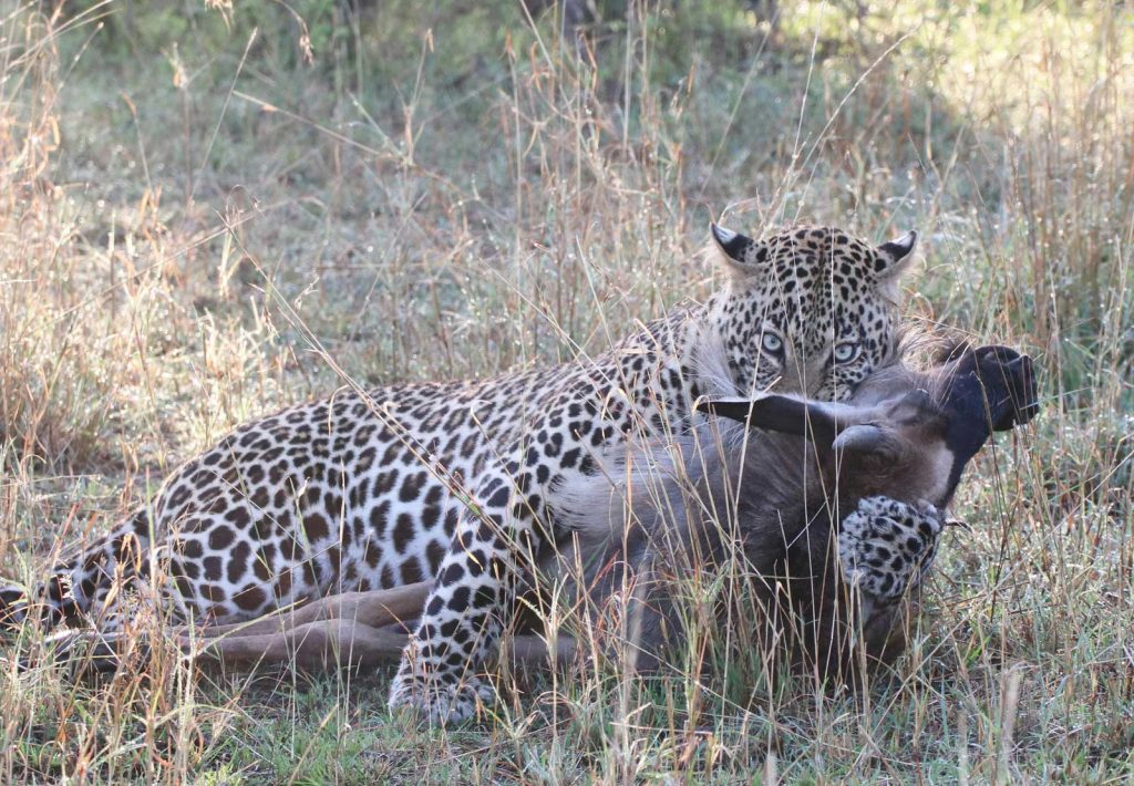 Leopard's incredible power gave the young wildebeest no chance © Nik Simpson
