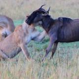 Stories from the Masai Mara: Lion Pride Kills Wildebeest