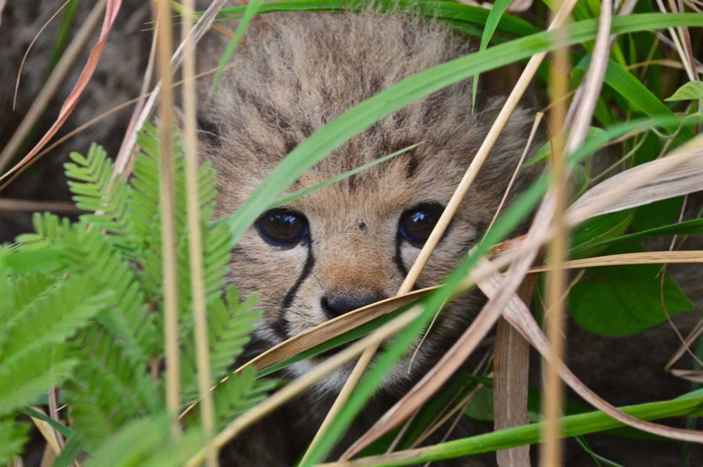 Cheetah cubs born in Liwonde National Park