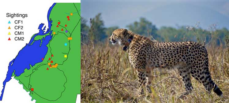 Cheetahs released in Liwonde National Park
