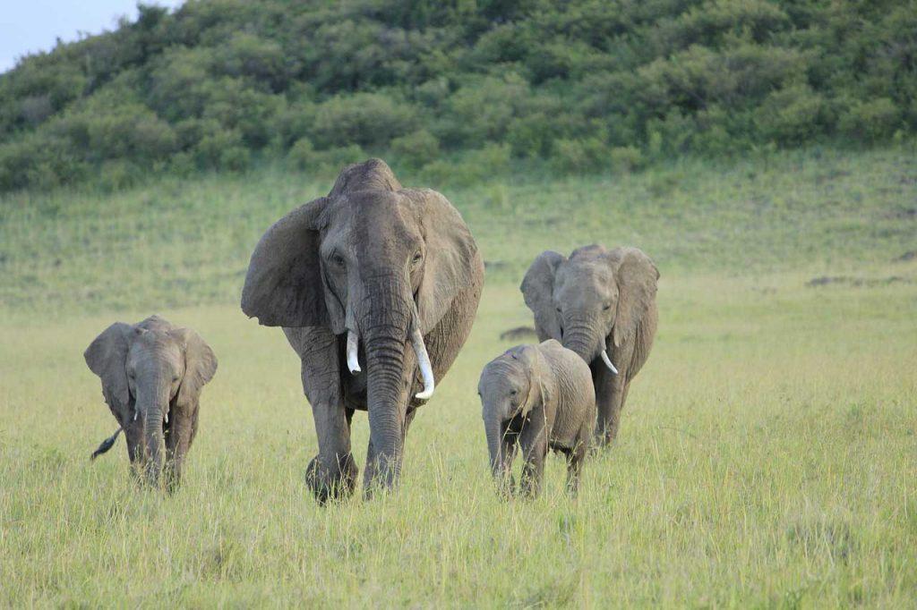 Elephants in Chinko, CAR