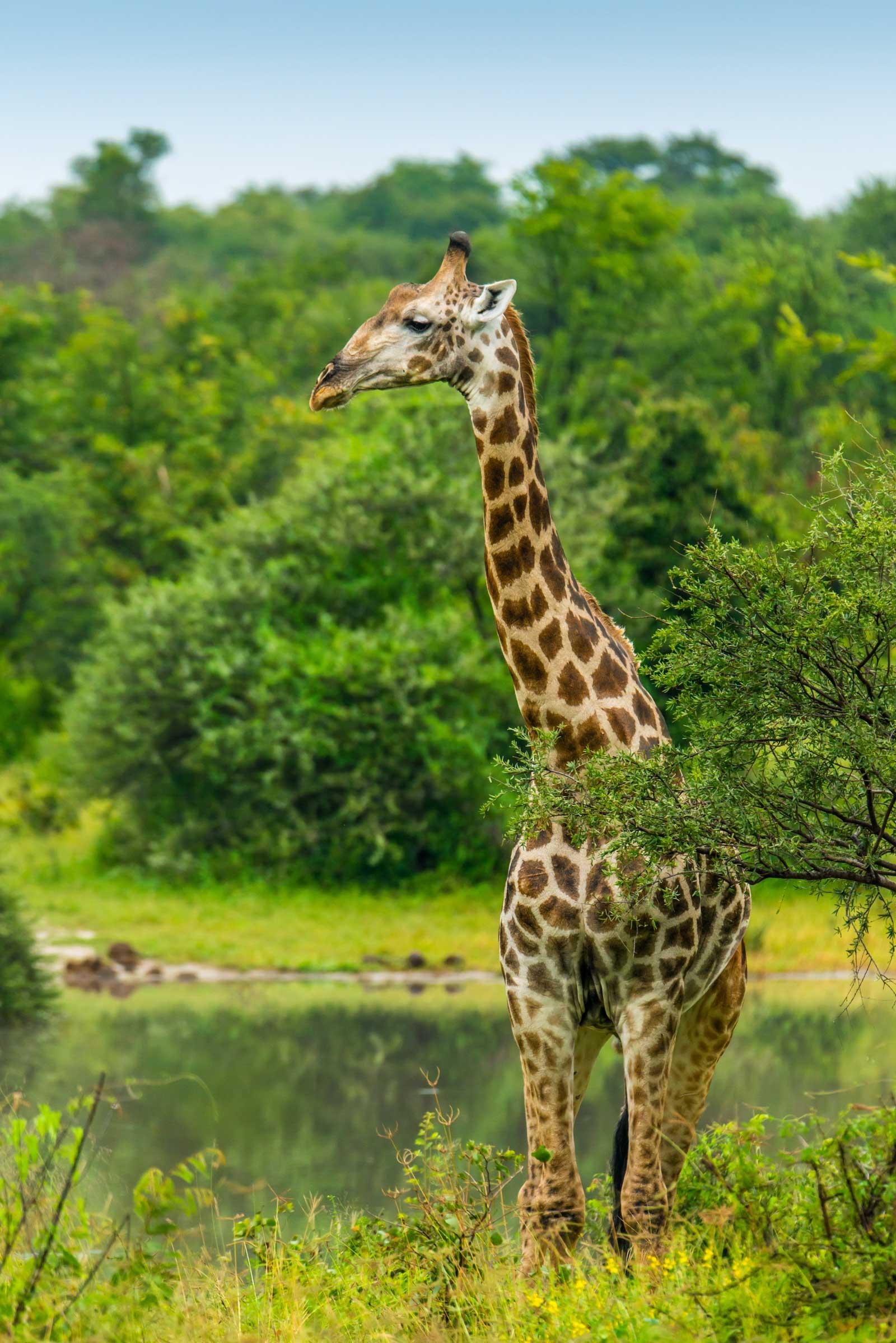 Giraffe profile by Kevin MacLaughlin