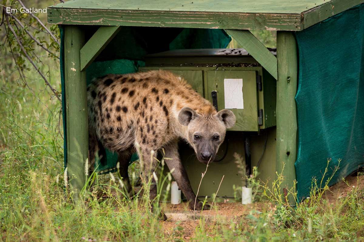 Hyena Hiding