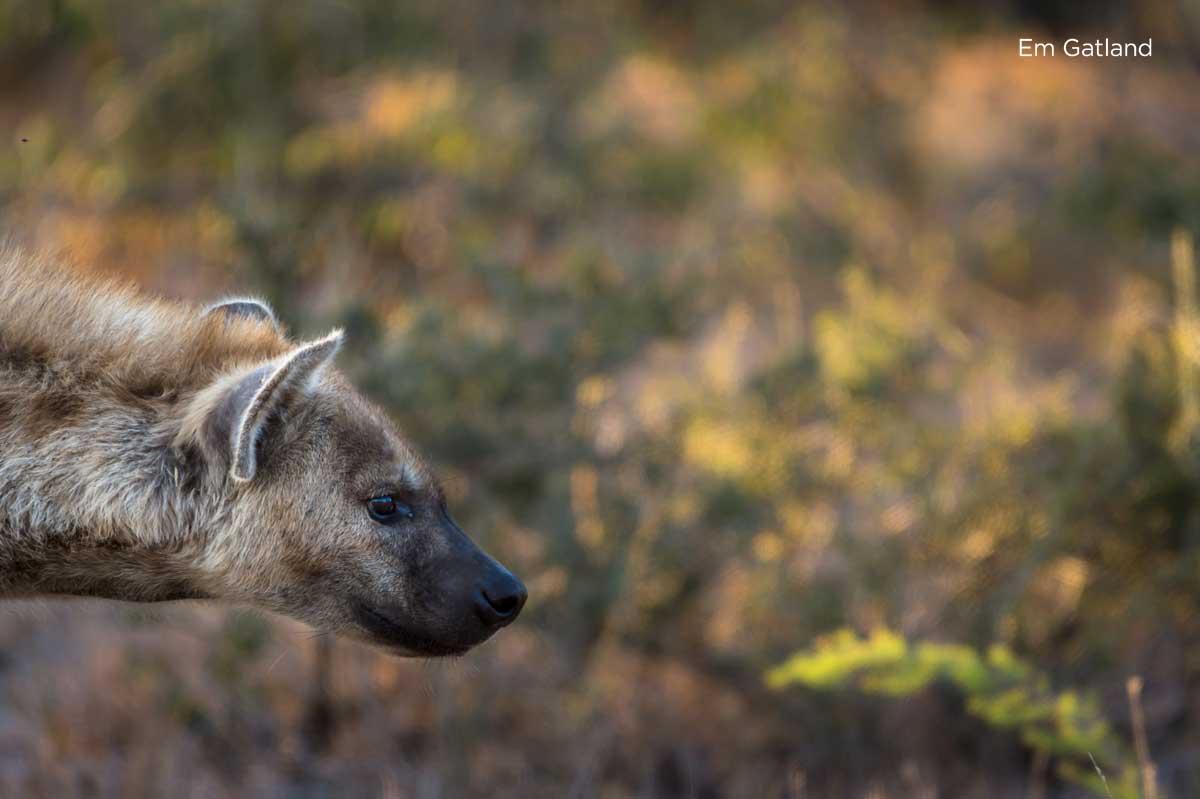 Hyena in the Bushveld