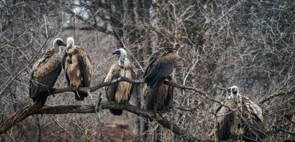 3 Reasons Why Vultures and Hyenas Are Vital to a Reserve