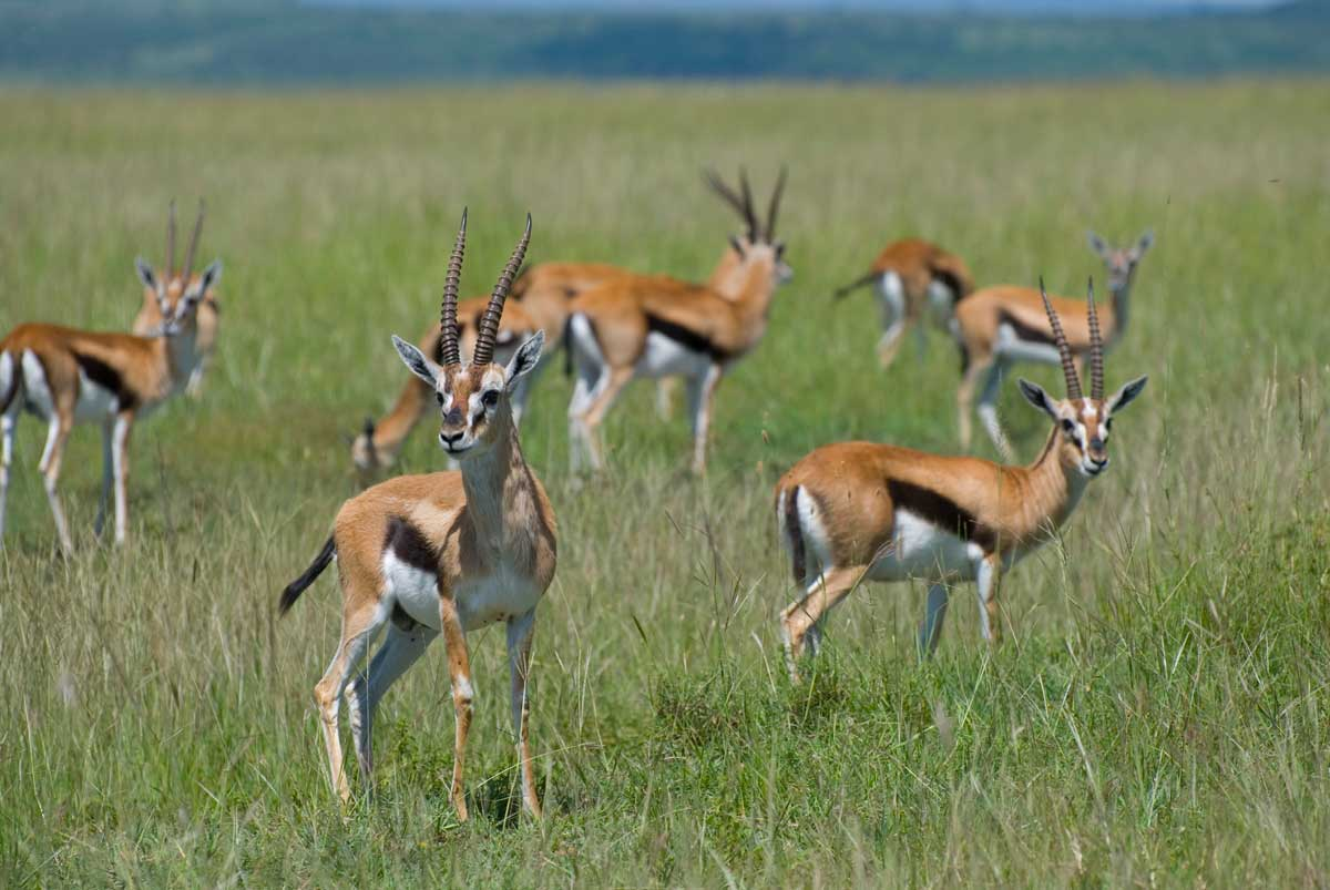 Credit :By Paul Mannix - Thompson's gazelles, Masai Mara, Kenya, CC BY-SA 2.0, https://commons.wikimedia.org/w/index.php?curid=2613803