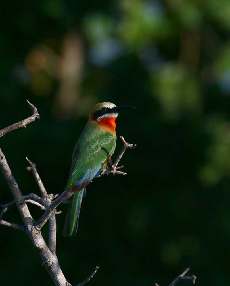 White-fronted beeeater