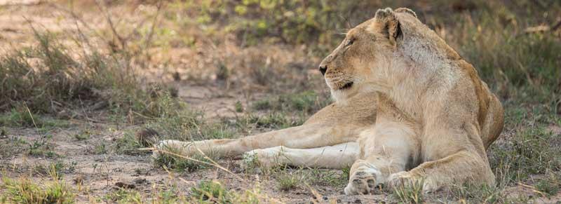 Gomo Gomo Lioness