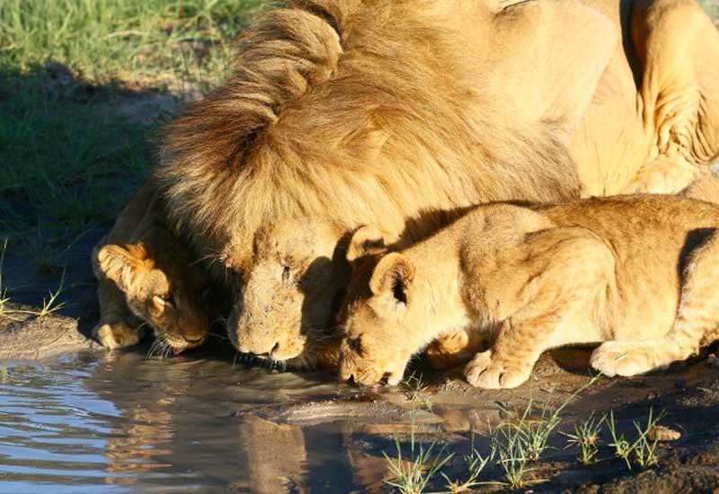 Kwara Drinking Lions