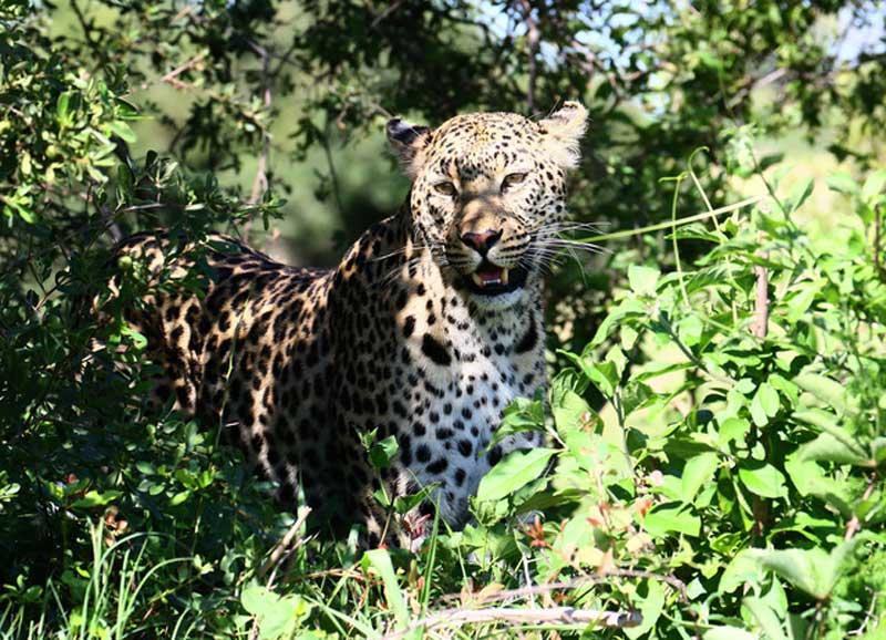Leopard Kwara