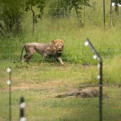 Lions Return to Liwonde National Park in time for World Wildlife Day 2018