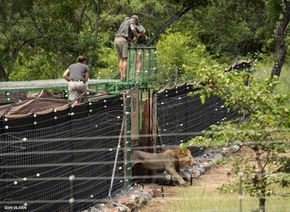 Lions relocated to Liwonde National Park