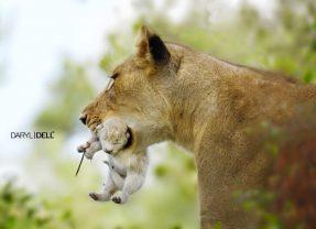 White Lion Cub Born into a Pride in Timbavati Nature Reserve