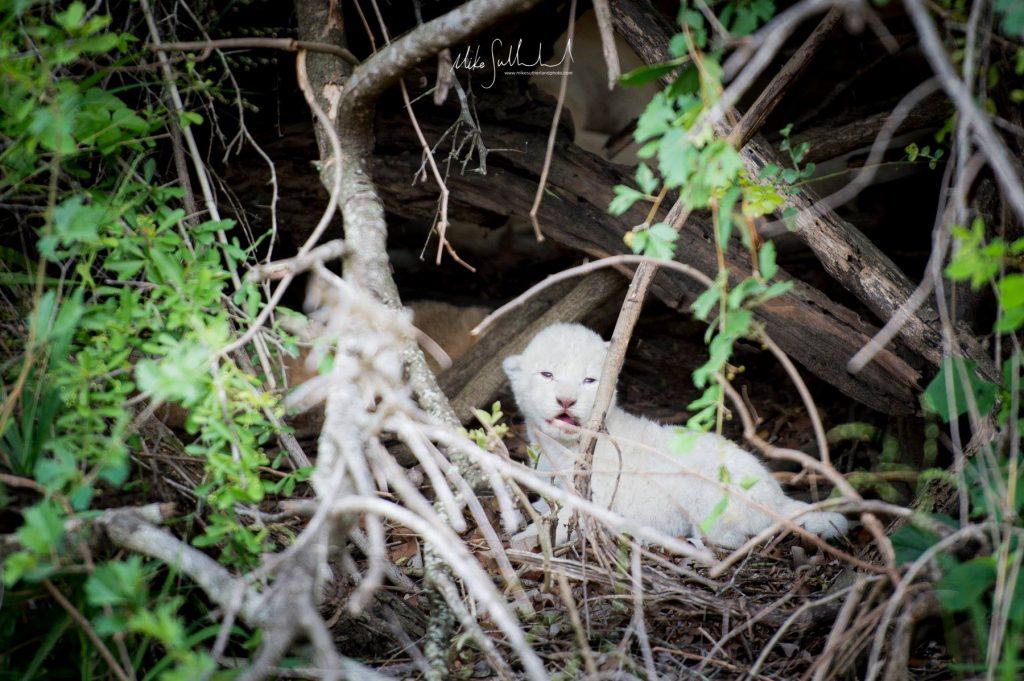 , White Lion Cub Born into a Pride in Timbavati Nature Reserve