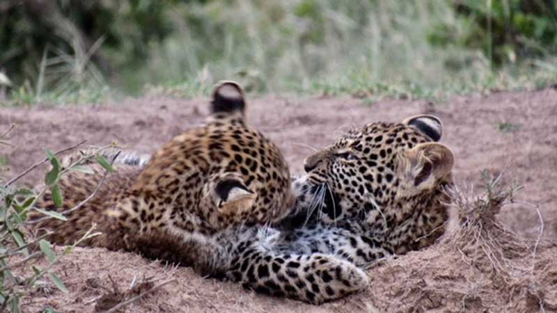 Cheetah Cubs East Africa