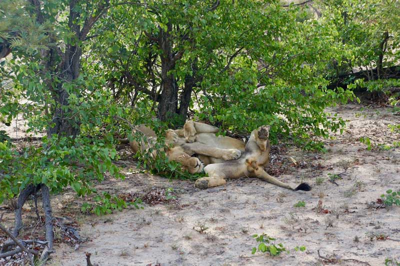 nThambo Lions